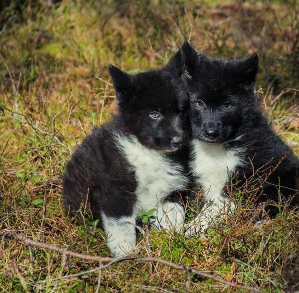 Два щенка вольфхунда