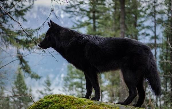 Русский вольфхунд в лесу