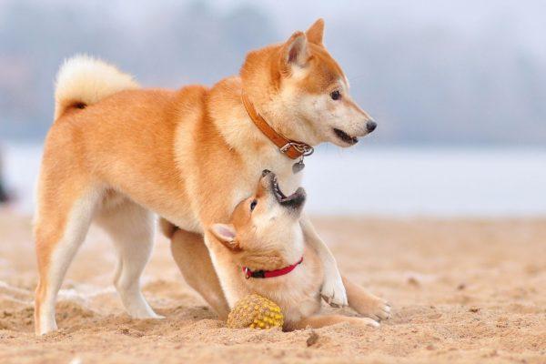 Акита-ину на песке