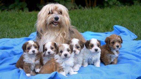 Гаванская болонка со щенками