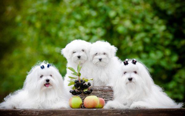 Мальтезе со щенками