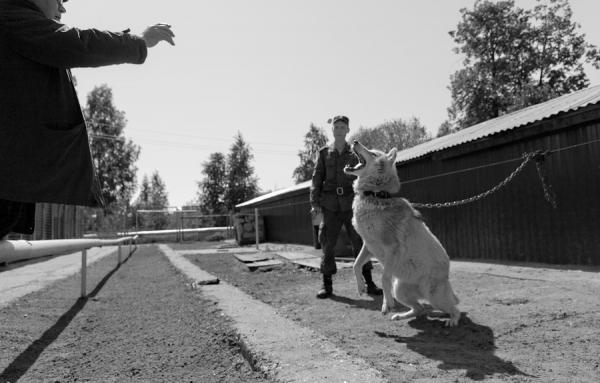Сохранившаяся фотография волчицы Найды — прародительницы русских волкособов