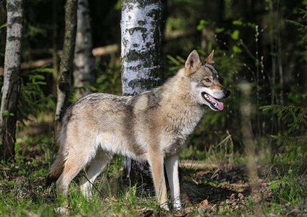 Пермский волкособ