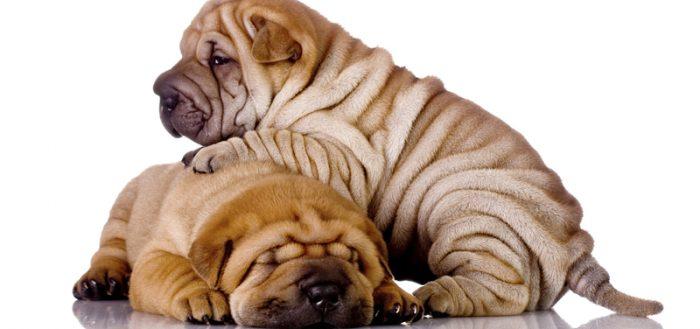 Собаки в складку