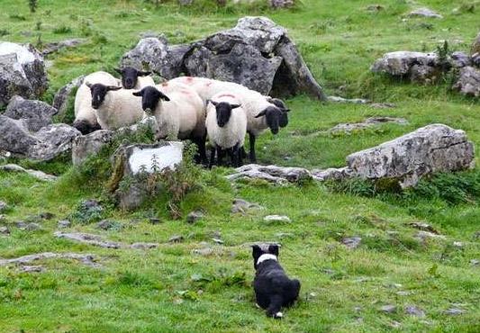 Колли пасёт овец