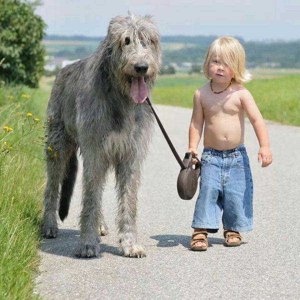 Ирландский волкодав и ребёнок