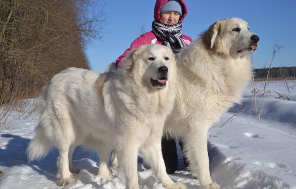 Пиринейские горные собаки с человеком