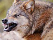 Волк скалится