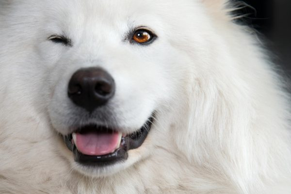 Самоед улыбается