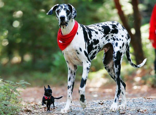 Дог и маленькая собачка