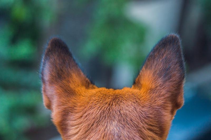 Собаки с большими ушами: список популярных и редких пород