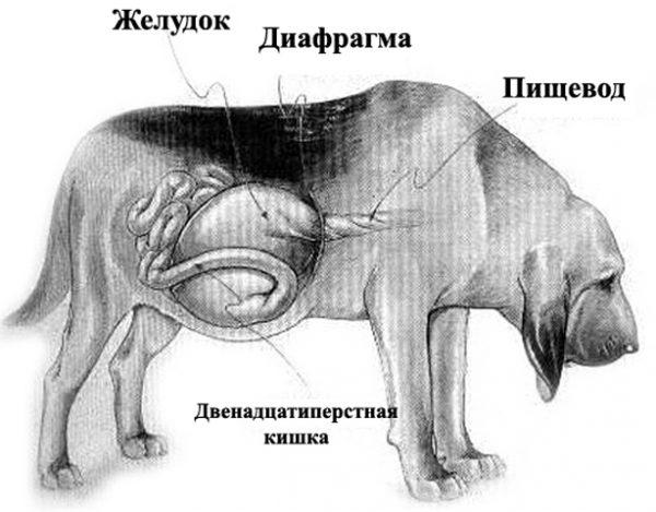 Расположение органов пищеварения у собаки