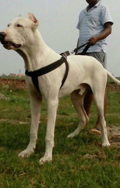 Белый булли кутта со своим хозяином