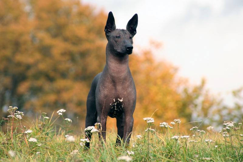 Мексиканская голая собака — когда названиеможет запутать