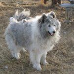Ненецкая лайка бело-голубого окраса