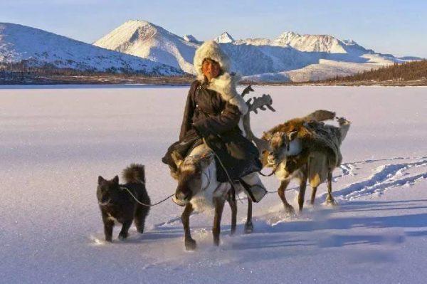Ненецкая лайка сопровождает оленевода