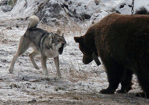 Ненецкая лайка и медведь