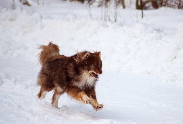 Ненецкая лайка бежит