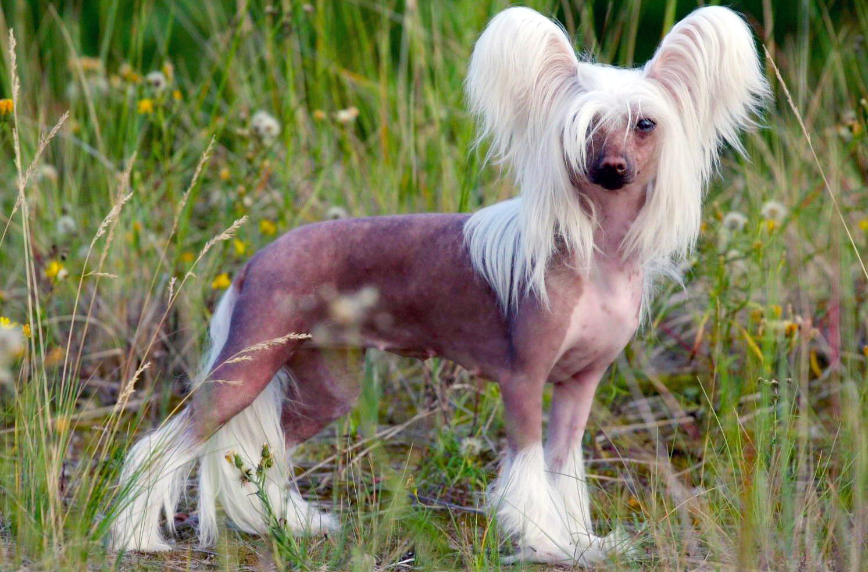 это хохлатая собака фото хризантема девочки