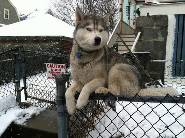 Хаски сидит на проволочном заборе