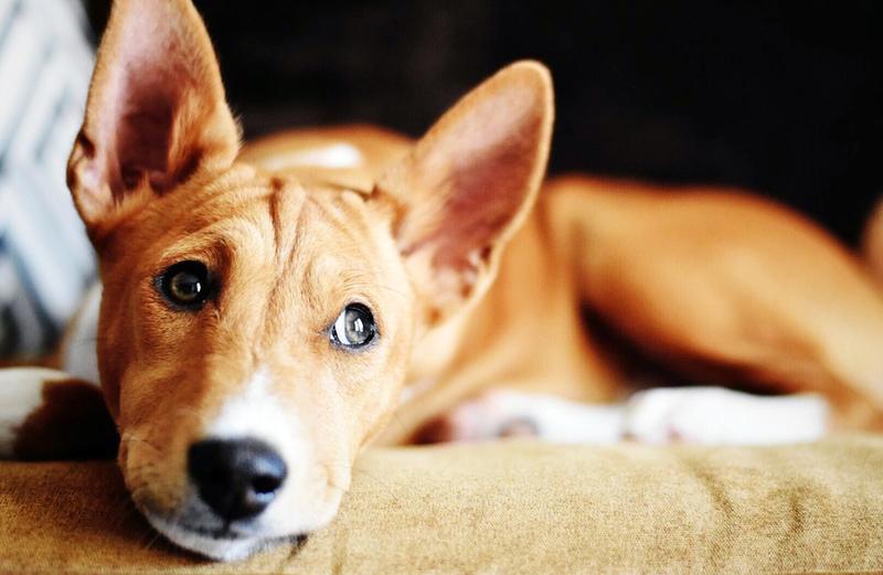 Собака есть, шерсти в доме нет: ТОП-13 нелиняющих пород