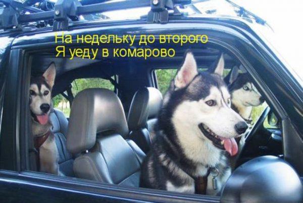Три хаски сидят в авто, надпись: