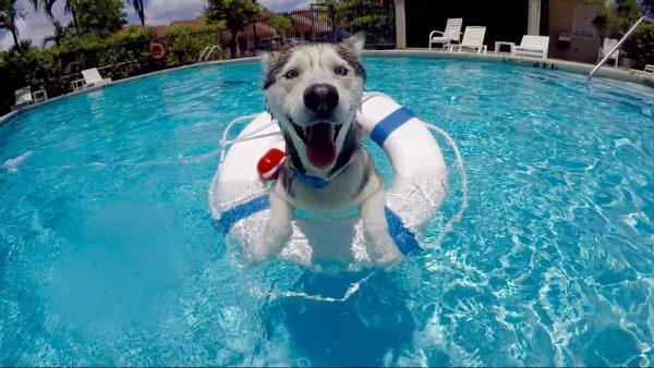 Хаски в спасательном круге плавает в бассейне