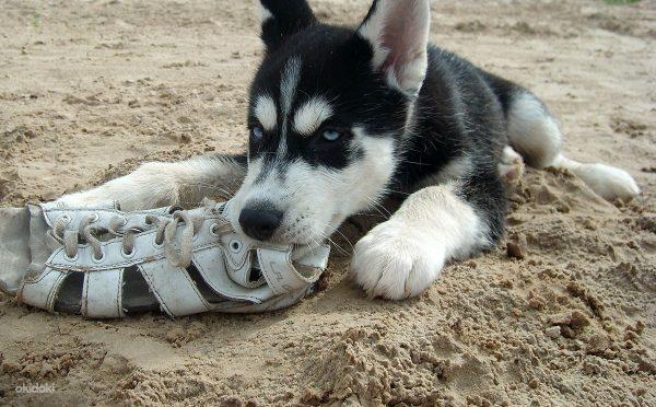 Чёрно-белый щенок хаски грызёт обувь