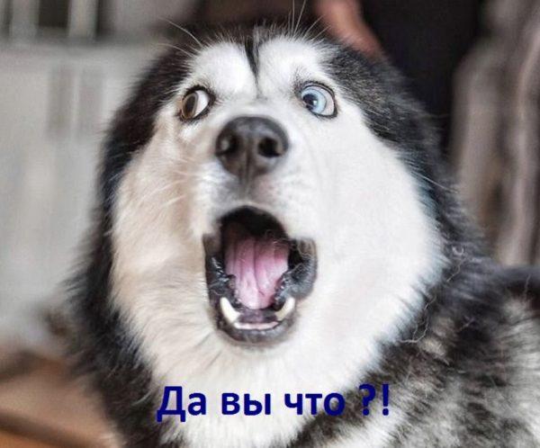 Удивлённый хаски с разными глазами, надпись: «Да вы что?!»