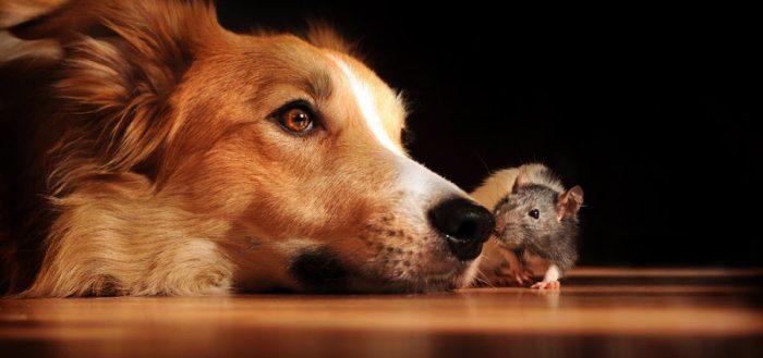Собака с крысой