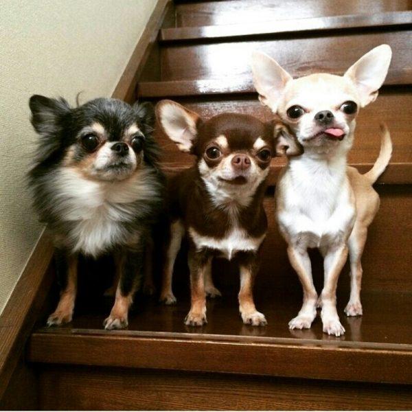 Чихуахуа на лестнице