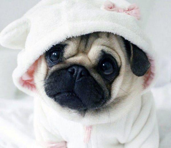 щенок мопса