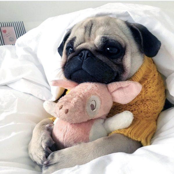мопс в кровати
