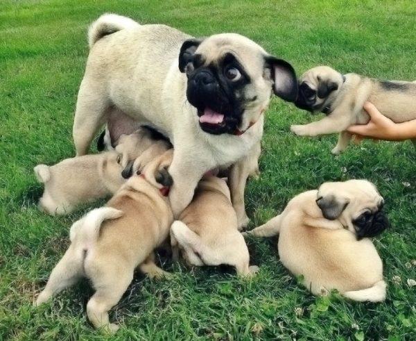 мопс со щенками