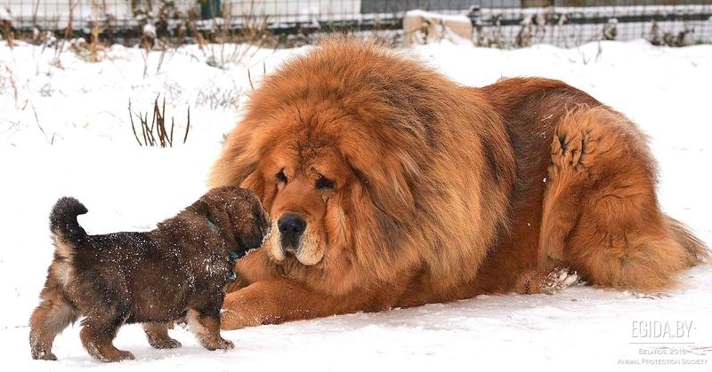 Грозные и нежные: породы собак молоссов