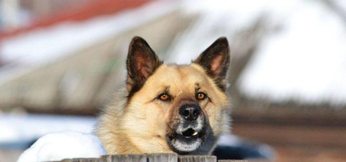 Собака, охраняющая двор