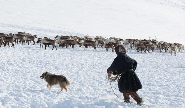 Ненецкая лайка пасёт стадо оленей