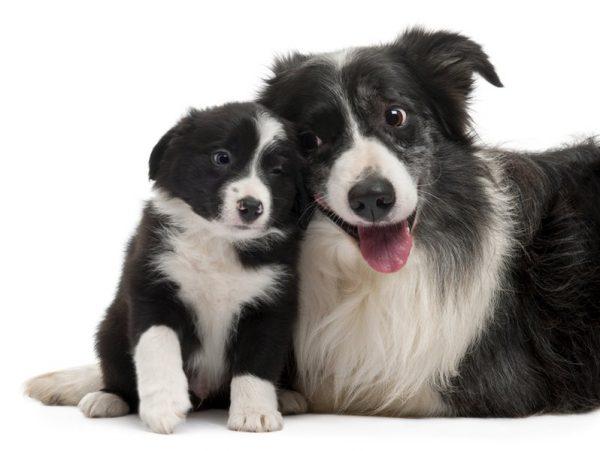 Бордер-колли со щенком