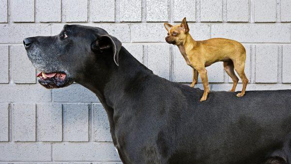 Огромная и маленькая собаки