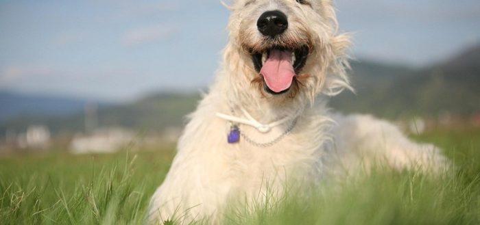 белая собака лежит в траве