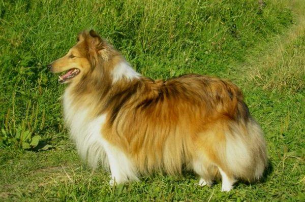 Шетландская овчарка, или шелти
