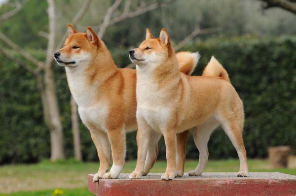 Две собаки породы сиба-ину