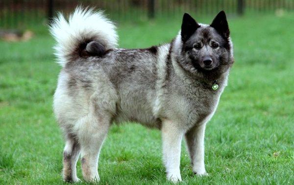 Порода собак норвежский элкхаунд