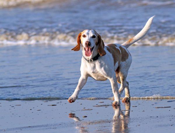 Гончая на пляже