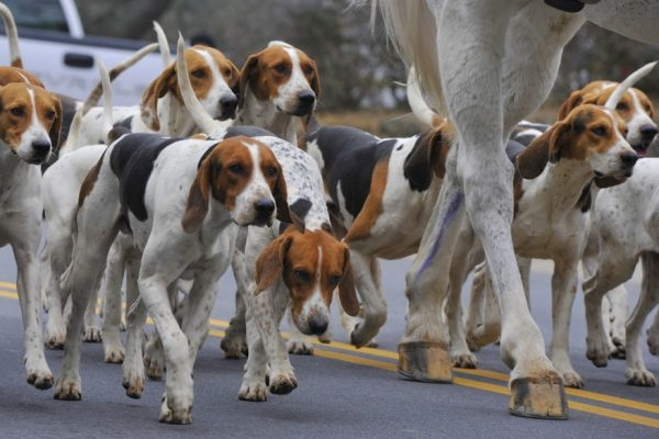 Гончие следуют за лошадью