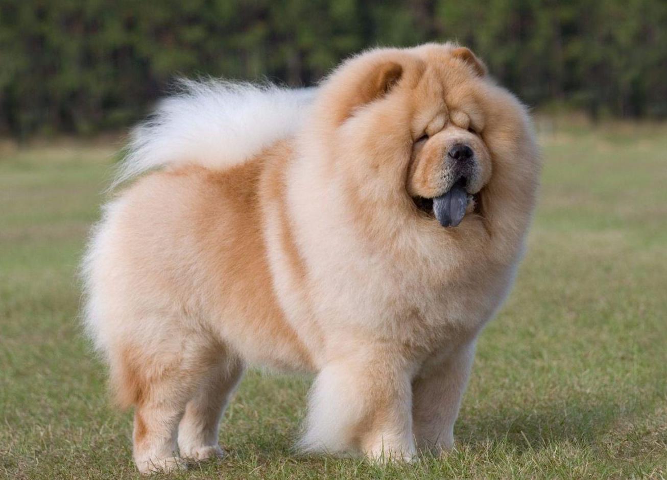 Надписями, картинки чау-чау собака