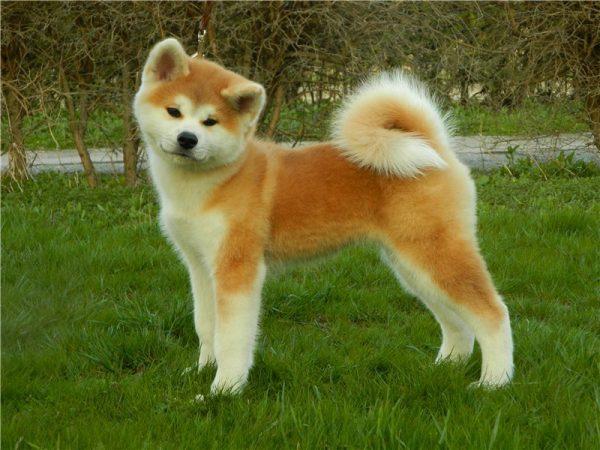 Акита-ину щенок
