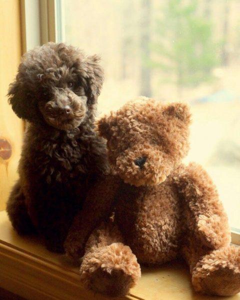 Пудель и игрушечный медвежонок