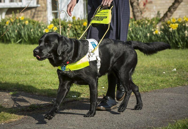 Собаки-поводыри: друзья и помощники для незрячих людей