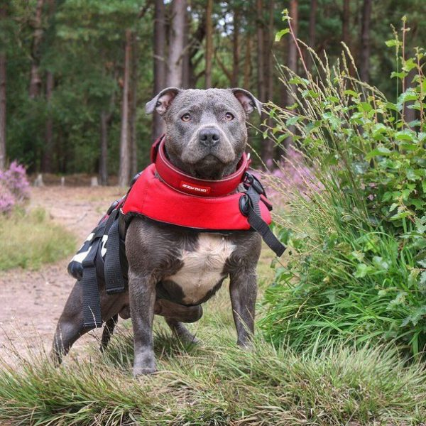 Бриндизская бойцовая собака
